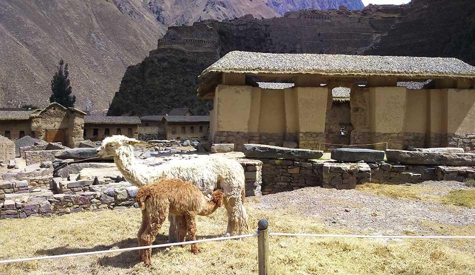 alpaca-al-pascolo